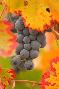 carmenere-raisin-lemaire-hebdo-vin-chine