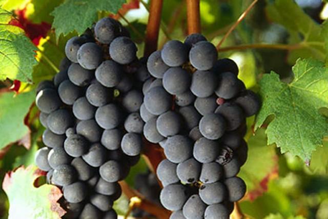 carmenere-raisins-lemaire-hebdo-vin-chine
