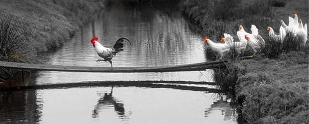 Coq-poules