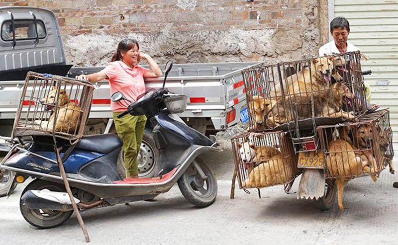 chiens-marche-chine-lemaire-hebdo-vin