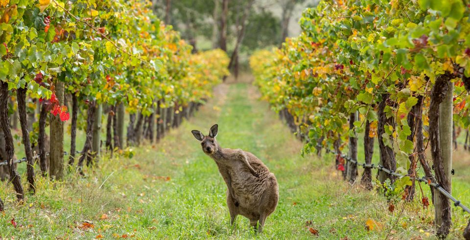 australie-vignoble-vin-lemaire-hebdo-vin-chine