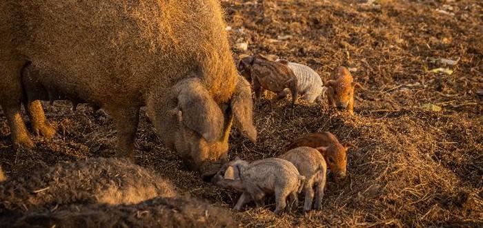 Jack-Ma-chateau-sours-cochon-lemaire-hebdo-vin-chine